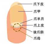 ネイル:爪の構造tume.png